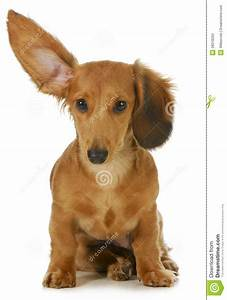 Dog listening stock photo. Image of long, closeup ...