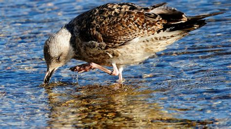 gabbiano femmina smergo maggiore femmina al lago di caldonazzo