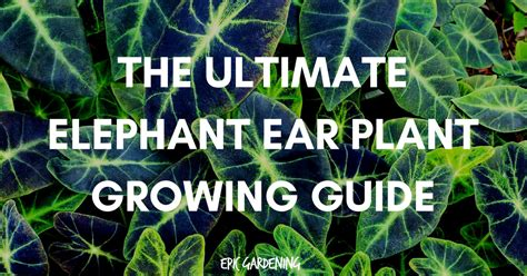 how to grow elephant ears indoors elephant ear plant care planting and growing tips