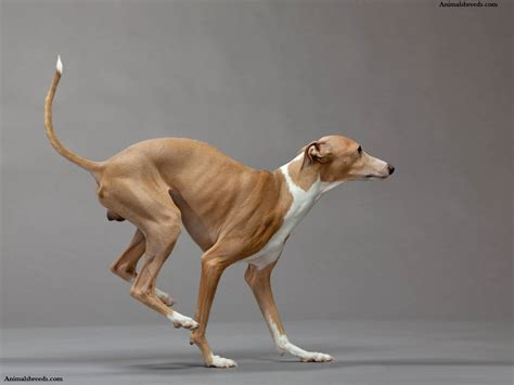 why is my italian greyhound shedding italian greyhound puppies rescue pictures information