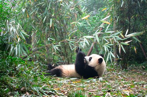 Going To Nursery Book by Pandas In Chengdu Photo Essay Nomadic Roam The