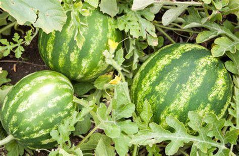 Watermelon Plants फल क पध फल क पध फरट