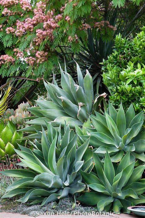 agave tree and landscape 17 best images about landscape ideas on pinterest decks backyards and succulents