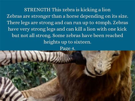 zebras lion zebra kicking stronger than
