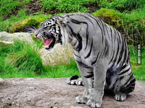 maltese tiger   rare  golden tiger gag
