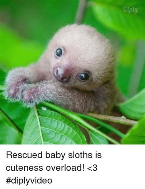 Cute Sloth Meme - 25 best baby sloth ideas on pinterest sloths sloth claws and sloth animal