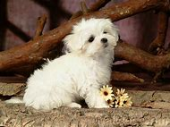 Cute White Fluffy Puppy Dogs