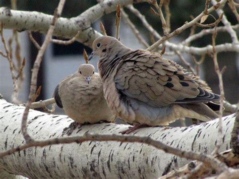 wednesday wings dove love bird canada