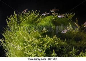 neon tetra fish Nature freshwater aquarium Stock