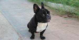 Hundebekleidung Französische Bulldogge : franz sische bulldogge hat an beliebtheit zugelegt ~ Frokenaadalensverden.com Haus und Dekorationen