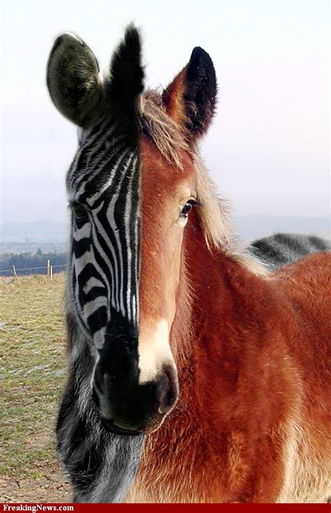 horse genetically modified zebra freakingnews hybrids horses nation