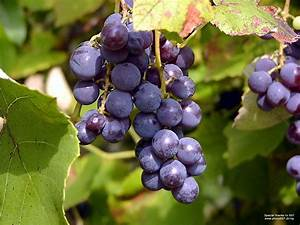 Grapes Fruit Pictures Wallpaper