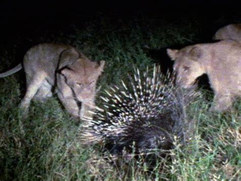 porcupine  lion