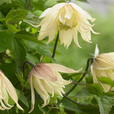 Buy RHS Chelsea Flower Show Plant of the Year 2016 ...