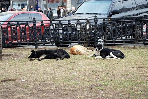 common moscow sight stray dogs sleeping   park