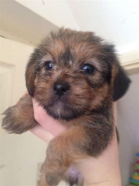 shih tzu cross yorkshire terrier ready   doncaster