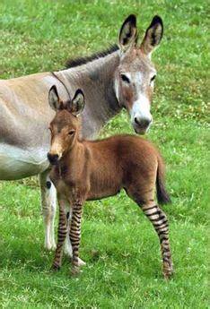 rare zebradonkey hybrid born  wildlife preserve treehugger