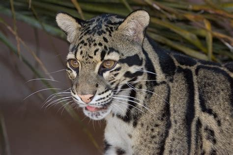 clouded leopard leopards zoo animals diego san tree forest range tiger long its sandiegozoo