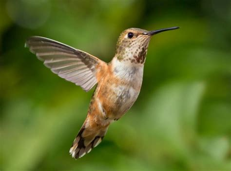 the hummingbird and the nectar collector nature the