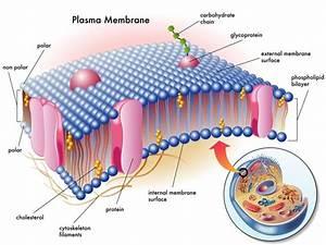 Pemt Gene Mutations  Choline  U0026 Phospholipids