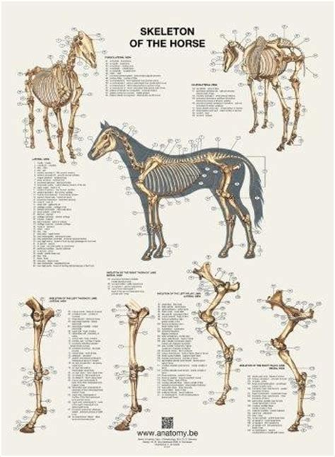 Buy horse posters flip over format Anatomy | Animal