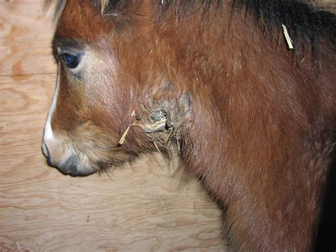strangles  horses  symptoms treatment brec