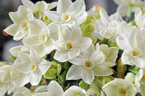 narcissus paperwhite tazetta daffodil