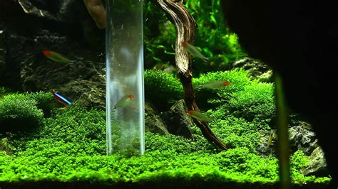 Carpet Plants cleaning hc in an aquarium youtube