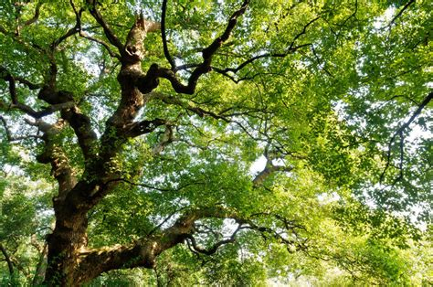 Green Camphor Tree Stock Image. Image Of Outdoor, Forest