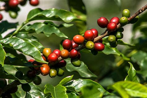 Royalty Free Coffee Plant Pictures, Images And Stock Coffee From Sumatra Cat Poop Cold Brew Dilution Ratio Organic Ground Cleaning Keurig Maker With Clr First Time Gayo Ethiopian Without Vinegar