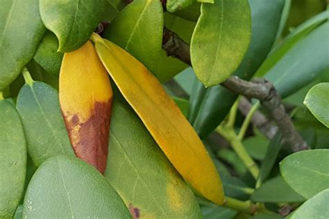 Neuer Rollrasen Wird Gelb by Rhododendron Bekommt Gelbe Bl 228 Tter Braune Flecken