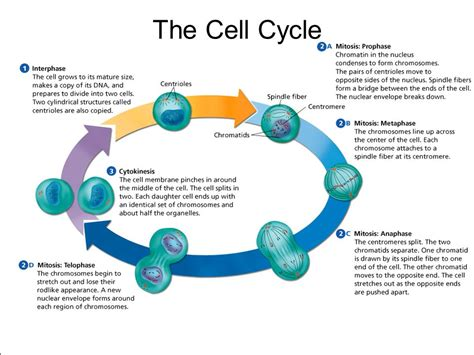 The Cell Cycle The Life Cycle Of A Cell Is Called The Cell