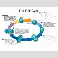The Cell Cycle The Life Cycle Of A Cell Is Called The Cell Cycle  Ppt Video Online Download