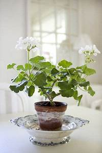 265 best images about Geraniums on Pinterest | Gardens ...