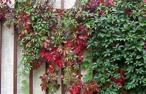 Wilder Wein Vermehren : parthenocissus quinquefolia wilder wein pflanzenreich ~ Orissabook.com Haus und Dekorationen
