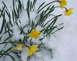 Blumen Im Winter : kostenloses foto blumen narzissen schnee bl te kostenloses bild auf pixabay 22642 ~ Eleganceandgraceweddings.com Haus und Dekorationen