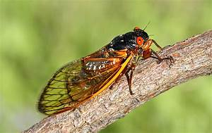 Watch Out East Coast: The Cicadas Are Coming! - Modern Farmer