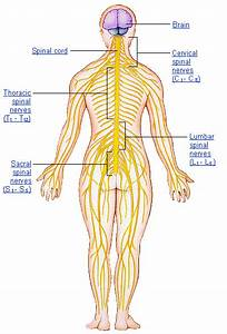 Ch 11 Divisions Of The Nervous System
