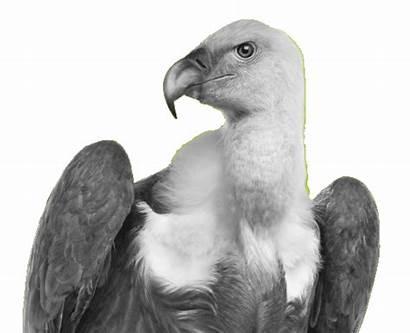 Eye Geier Geiers Auge Vulture Das