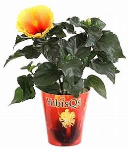 Hibiskus Stämmchen Kaufen : hibiskus 39 hibisqs 39 dehner ~ Buech-reservation.com Haus und Dekorationen