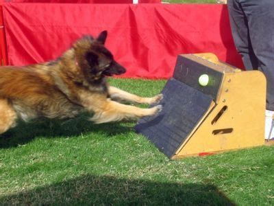 build  flyball box   dog  maisie