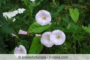 Unkraut Weiße Blüte : zaunwinde bek mpfen arten von winden calystegia ~ Lizthompson.info Haus und Dekorationen