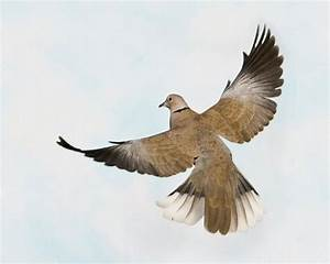 Eurasian Collared Dove | Dove flying, Dove pigeon, Dove ...