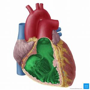 Heart Ventricles  Anatomy  Function And Clinical Aspects