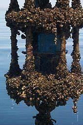 Detritus Feeders Zebra Mussel Wikipedia