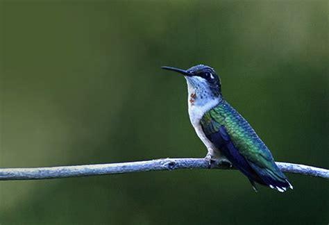 hummingbird myths the quot top ten quot plus two