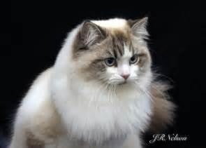 ragamuffin cat ragamuffin cats for
