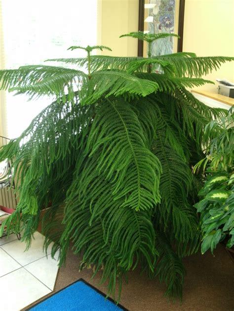 norfolk pine featured indoor plant plants norfolk