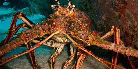 lobster gulf mexico spiny crab waters council season fishery gulfcouncil snapper managing federal resources