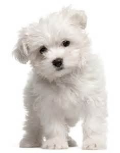 top 10 kleine hondenrassen foto beschrijving